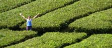 Nina zwischen den Teebüschen in den Cameron Highlands