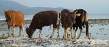 Kühe am Strand auf Gili Trawangan
