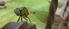 Libelle in Ubud auf Bali